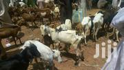 Goat | Livestock & Poultry for sale in Lagos State, Kosofe