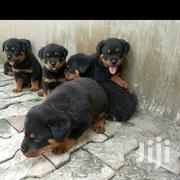 Breeding/Vet Service/General Fumigation And Pest Control | Dogs & Puppies for sale in Rivers State, Ikwerre