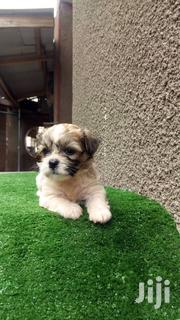 Lhasa Apso Available | Dogs & Puppies for sale in Ogun State, Ado-Odo/Ota