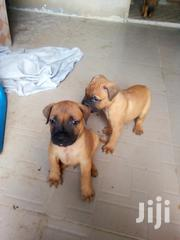 Bullmastiff Puppies | Dogs & Puppies for sale in Oyo State, Ona-Ara