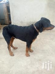 Young Male Purebred Rottweiler | Dogs & Puppies for sale in Oyo State, Ido