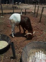 A White And Brown Ram | Livestock & Poultry for sale in Sokoto State, Sokoto North