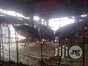 Guinea Fowl For Sale | Livestock & Poultry for sale in Lagos State, Ikorodu