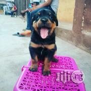 Box Head Rottweiler Pups | Dogs & Puppies for sale in Lagos State, Amuwo-Odofin