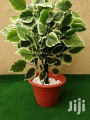 Indoor Plantain Tree | Landscaping & Gardening Services for sale in Lagos State, Ikeja