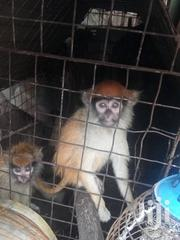 Monkey For Sale | Other Animals for sale in Lagos State, Lagos Mainland