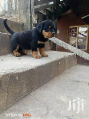 Rottweiler Puppies for Sale | Dogs & Puppies for sale in Lagos State, Lekki Phase 1