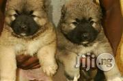 Pure Caucasian Shepherd Pups | Dogs & Puppies for sale in Lagos State, Ikorodu