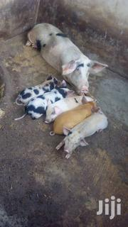 Very Good Winners. | Livestock & Poultry for sale in Oyo State, Egbeda