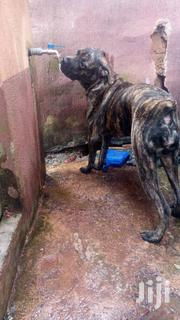 Adult Female Purebred Boerboel | Dogs & Puppies for sale in Enugu State, Nsukka