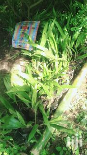 Get Your Hybrid Palm Tree (Elaies Gunesis)   Feeds, Supplements & Seeds for sale in Ondo State, Akure North
