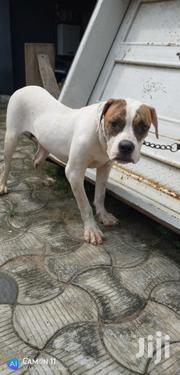 7 Months American Bulldog Up for Sale   Dogs & Puppies for sale in Lagos State, Ifako-Ijaiye