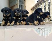 German Rottweiller Guard Dog Puppy / Puppies for Sale | Dogs & Puppies for sale in Abuja (FCT) State, Asokoro