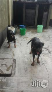 Adult Female Rottweiler | Dogs & Puppies for sale in Lagos State, Lekki Phase 2