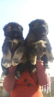 Giant Russian Caucasian Puppy / Puppies Dog for Sale Male and Female   Dogs & Puppies for sale in Abuja (FCT) State, Maitama