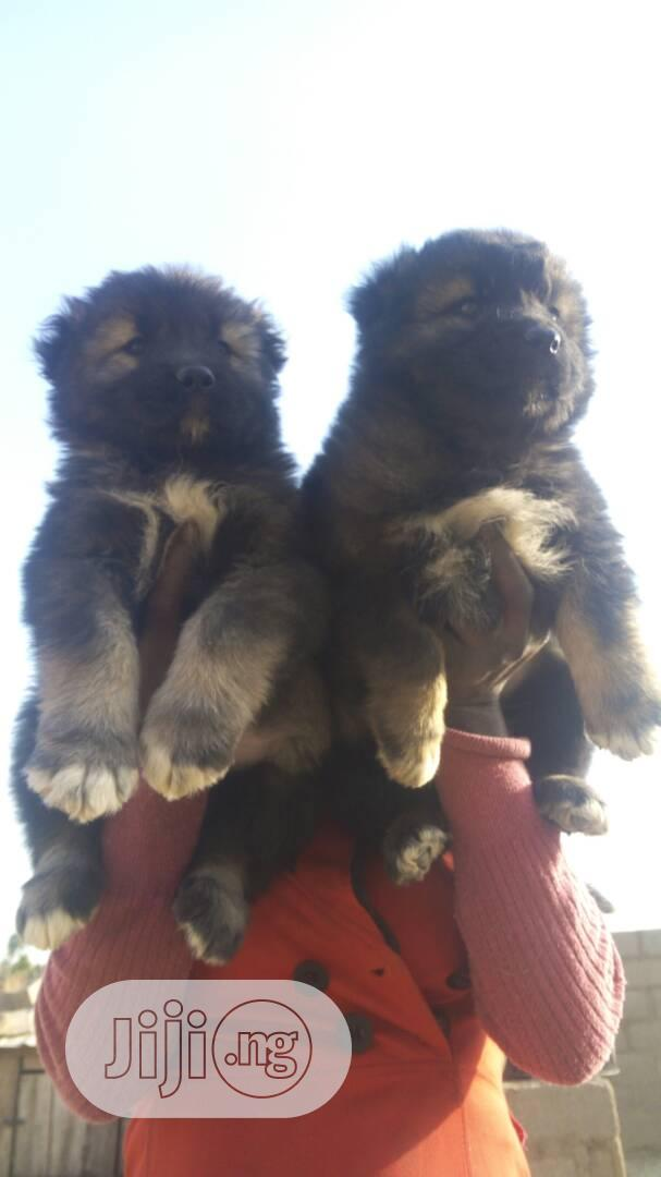 Giant Russian Caucasian Puppy / Puppies Dog for Sale Male and Female