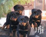 Top Security German Rottweiller Guard Dog Puppy / Puppies for Sale | Dogs & Puppies for sale in Abuja (FCT) State, Maitama