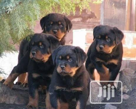 Top Security German Rottweiller Guard Dog Puppy / Puppies for Sale