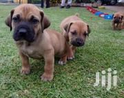 Giant South African Boerboel Mastiff Puppy / Puppies Male Female | Dogs & Puppies for sale in Abuja (FCT) State, Maitama