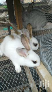 Fast Growing Rabbit | Livestock & Poultry for sale in Ogun State, Ifo