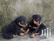 Male And Female Rottweiler | Dogs & Puppies for sale in Lagos State, Ikorodu