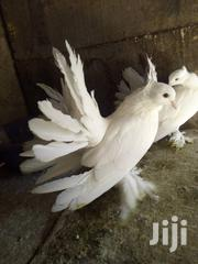 Male And Female Foreign Pigeon For Sale | Birds for sale in Lagos State, Lagos Mainland