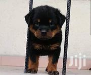 Box Head Rottweiler Puppies for Sale   Dogs & Puppies for sale in Oyo State, Ibadan North
