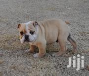 Bulldog for Sale   Dogs & Puppies for sale in Oyo State, Ibadan