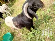 A Very Big Ram | Livestock & Poultry for sale in Sokoto State, Sokoto North