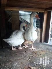Healthy Geese For Sale | Livestock & Poultry for sale in Lagos State