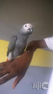 Africa Grey Parrot For Sale | Birds for sale in Lagos State, Surulere