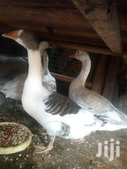 Big Geese For Sale | Livestock & Poultry for sale in Lagos State, Lagos Mainland