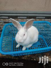 Rabbit For Sale | Livestock & Poultry for sale in Delta State, Ugheli