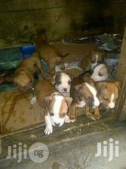 Pitbull Puppies Available Now | Dogs & Puppies for sale in Lagos State, Lagos Mainland