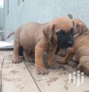 Boerboel Puppies | Dogs & Puppies for sale in Lagos State, Alimosho