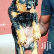 A Gold Rottweiler Puppies From Good Pedigree Parent | Dogs & Puppies for sale in Lagos State, Surulere