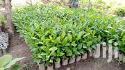 Cashew Seedlings | Feeds, Supplements & Seeds for sale in Oyo State, Ido