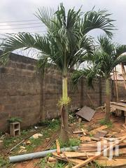 Queens Palm | Feeds, Supplements & Seeds for sale in Lagos State, Kosofe