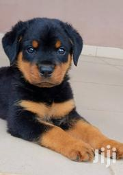 A Very Good Rottweiler | Dogs & Puppies for sale in Lagos State, Surulere
