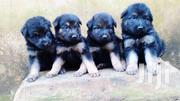 German Shepard Puppies | Dogs & Puppies for sale in Lagos State, Alimosho