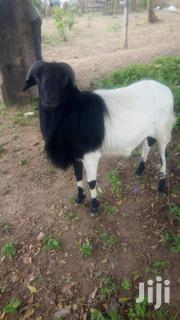 A Matured Ram For Sale | Other Animals for sale in Oyo State, Ibadan South West