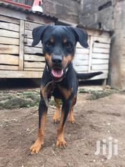 Adolescent Male Rott Avaliable in Ibadan for New Home   Dogs & Puppies for sale in Oyo State, Ido