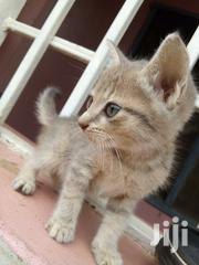 Baby Male Purebred American Shorthair   Cats & Kittens for sale in Oyo State, Ibadan