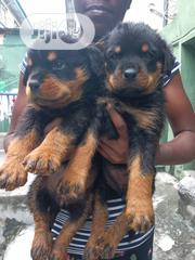 Box Head German Rottweiller Guard Dog Puppy / Puppies for Sale | Dogs & Puppies for sale in Lagos State, Victoria Island