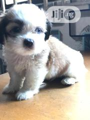 Lhasa Apso Puppies Ready for New Homes. | Dogs & Puppies for sale in Lagos State, Lagos Mainland