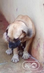 Adult Male Boerboel for Sale | Dogs & Puppies for sale in Enugu State, Enugu East