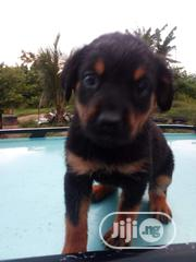 Rottweiler   Dogs & Puppies for sale in Oyo State, Ido