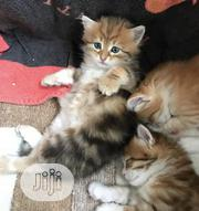 Young Female Purebred Siberian | Cats & Kittens for sale in Lagos State, Lagos Mainland