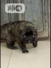 Caucasian Puppies Available for a New Home   Dogs & Puppies for sale in Abuja (FCT) State, Gwagwalada