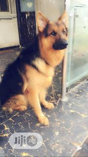Long Coat Slant Back GSD For STUD Service | Dogs & Puppies for sale in Edo State, Oredo